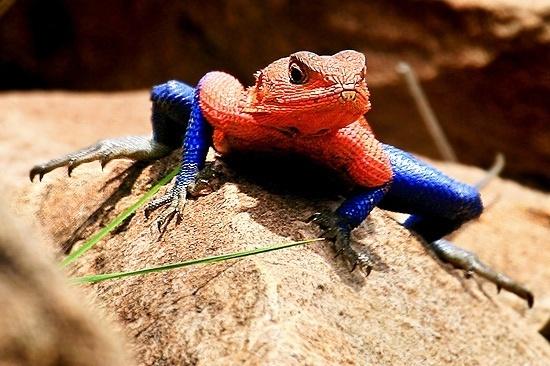 Um fotógrafo capturou a imagem de um lagarto que mais parece um super-herói. As cores do réptil são bastante semelhantes ao uniforme do Homem-Aranha. O animal, que parece também imitar uma das famosas poses do herói da Marvel, é deu uma espécie rara de lagartos encontrados na África